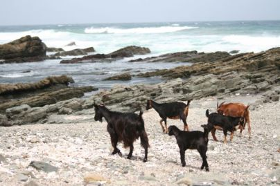 Goats on Beach at Mdumbi