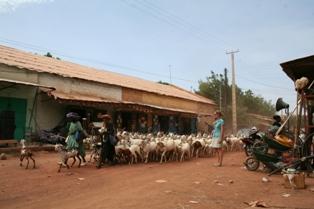 Goats herded by Fulanishepherd