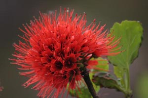 Fire Tree Flower
