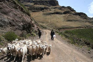 Goats on Sani Pass