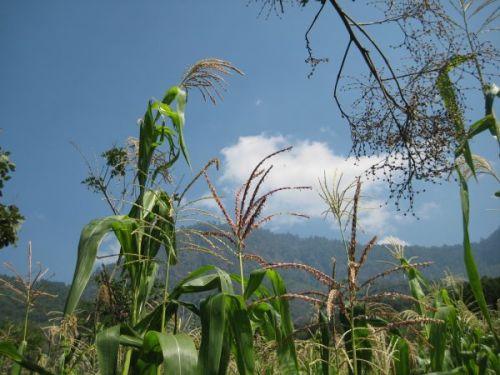 The heavenly corn crop
